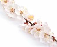 Heart and sakura. Stock Images