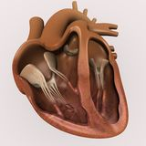 Heart section Royalty Free Stock Photos