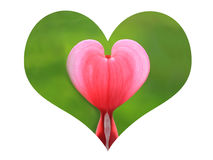 Heart shape with bleeding heart plant Stock Images