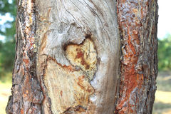 Heart shape carved in the bark of a tree Stock Photography