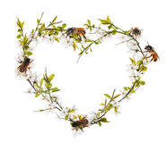 Heart shape from cherry tree flowers and bees on white Royalty Free Stock Photos
