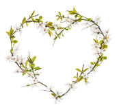 Heart shape from cherry tree flowers isolated on white Royalty Free Stock Photo
