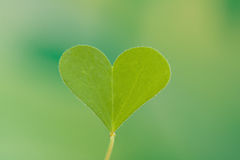 Heart shape Clover leaf Stock Photos