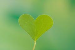 Heart shape Clover leaf Stock Photos
