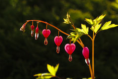 Heart shape flower Stock Image