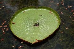 Heart shape giant lily pad. –  Mauritius Stock Photography