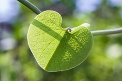 Heart shape green leaf Royalty Free Stock Photography