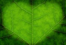 Heart shape on a green leaf texture Royalty Free Stock Image