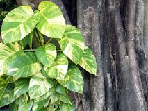 Heart shape and green leaf white striped of devil's ivy climbing on tree, climber plants are beautifully leaves pattern stock photo