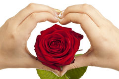Heart shape with hands and red rose Royalty Free Stock Photos