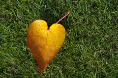 Heart shape leaf. Heart shape fallen leaf with green grass backgrond Stock Photography