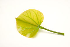 Heart shape leaf Stock Photo