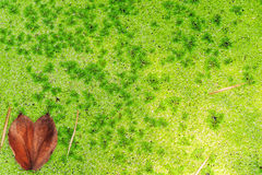 Heart shape leaf on green algea on water Royalty Free Stock Image