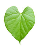 Heart shape Leaf ,isolated on white Stock Photography