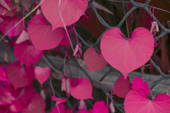 Heart Shape leaf, pink color Stock Image