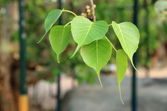 Heart shape leaf, pipal leaves on Bodhi tree in Buddhist temple Stock Photo