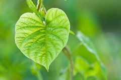 Heart shape leaves Stock Photography