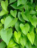 Heart shape leaves Stock Photos