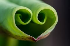 Heart shape lotus leaf Royalty Free Stock Photography