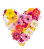 Heart shape made of transvaal daisy Stock Image