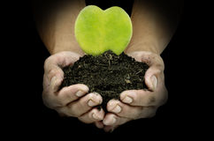 Heart shape plant in man hands Stock Photography