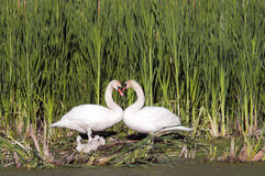 Heart Shape Swan Necks. With three young swans look on, with copy space in the marsh reeds Royalty Free Stock Photography