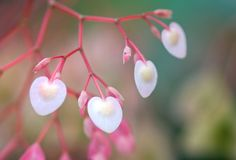 Heart shape and sweet pink color Begonia flower Stock Photos
