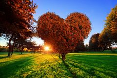 Heart shape tree with red leaves in park. Love symbol. Concept for Valentine's Day, wedding etc stock image