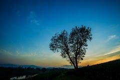 Heart shape tree with tea plantation landscape. At Chiang rai, Thailand Royalty Free Stock Photos