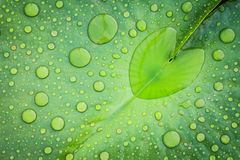 Heart shape water drop. On lotus leaf Stock Photos
