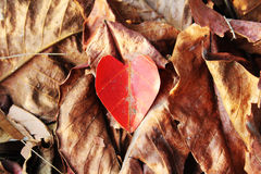 Heart-shaped autumn leaves Royalty Free Stock Images
