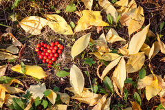 Heart shaped berries of guelder rose Stock Photography
