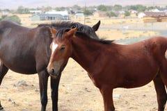 Heart shaped blaze on wild American mustang colt. In the Sierra Nevada stock photo