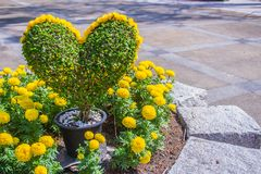 Heart-shaped bonsai with yellow flowers decorated in the garden. Stock Photography