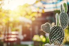 Heart shaped Bunny cactus,Opuntia in the mornig sun Stock Photography