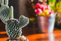 Heart shaped Bunny cactus,Opuntia in the mornig sun. Royalty Free Stock Images