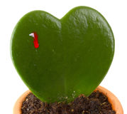 Heart shaped cactus while bleeds Stock Photo