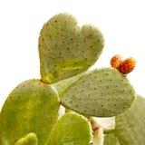 Heart shaped cactus isolated on white Royalty Free Stock Image
