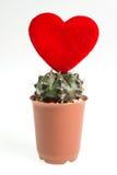 Heart-shaped cactus isolated on white background Royalty Free Stock Images