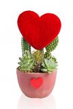 Heart-shaped cactus isolated on white background Royalty Free Stock Photography