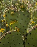 Heart shaped cactus leaf stock photography
