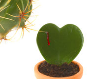 Heart shaped cactus while is stung by another plant. Heart shaped cactus while is stung by another plant with thorns Royalty Free Stock Photo