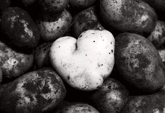 Heart-shaped clean potato. Contrasting with dark and dirty ones - individuality concept Stock Images