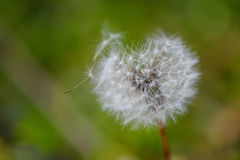 Heart Shaped Dandelion. Dandelion shaped like heart, love concept Royalty Free Stock Photo