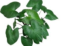 Heart shaped dark green leaves of Homalomena plant Homalomena R Stock Image