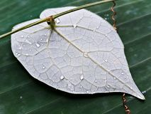 Heart shaped detailed leaf. Heart shaped highly detailed leaf with veins clearly visible Royalty Free Stock Images