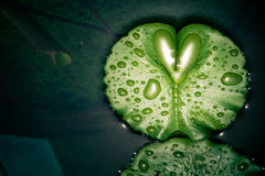 Heart shaped droplets on a lotus Royalty Free Stock Photos