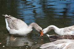 Heart shaped ducks Royalty Free Stock Images