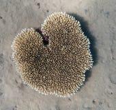 Heart-shaped Egyptian coral near Dahab. Heart-shaped Egyptian coral in the Three Polls bay royalty free stock photo