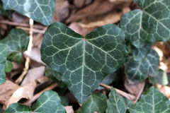 Heart shaped English ivy leaf Royalty Free Stock Image